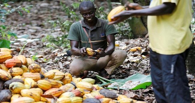 cacao, producteur ivoirien